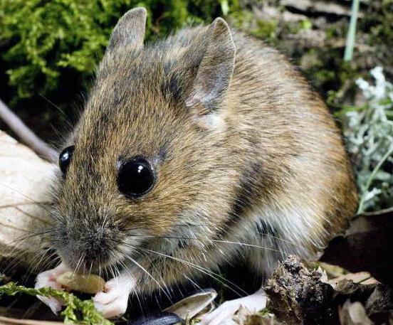 игольчатая мышь содержание уход
