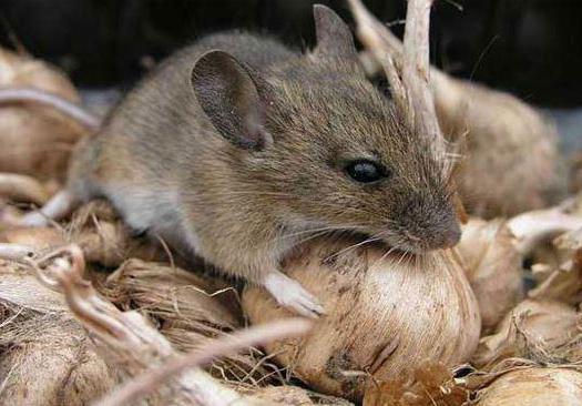 игольчатая мышь кормление