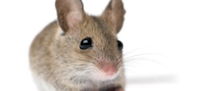игольчатая мышь размножение