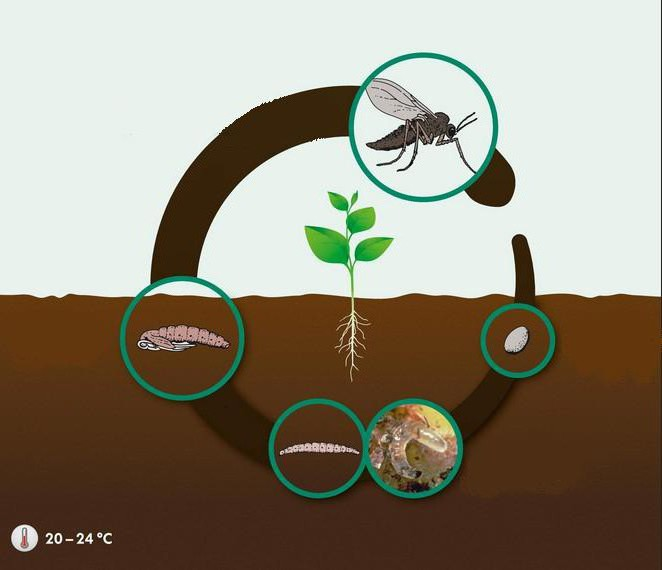 грибной комарик методы борьбы