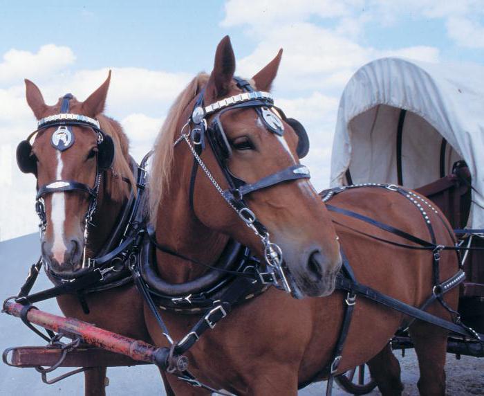 пара запряженных лошадей
