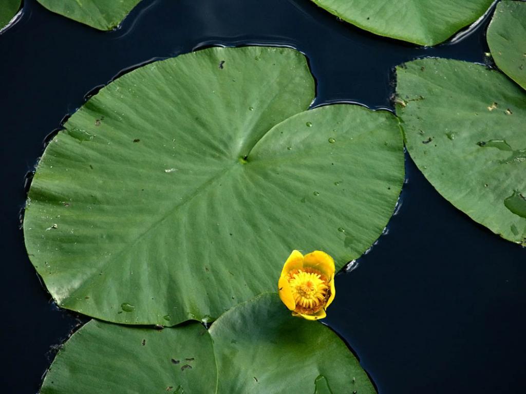 растение кубышка желтая