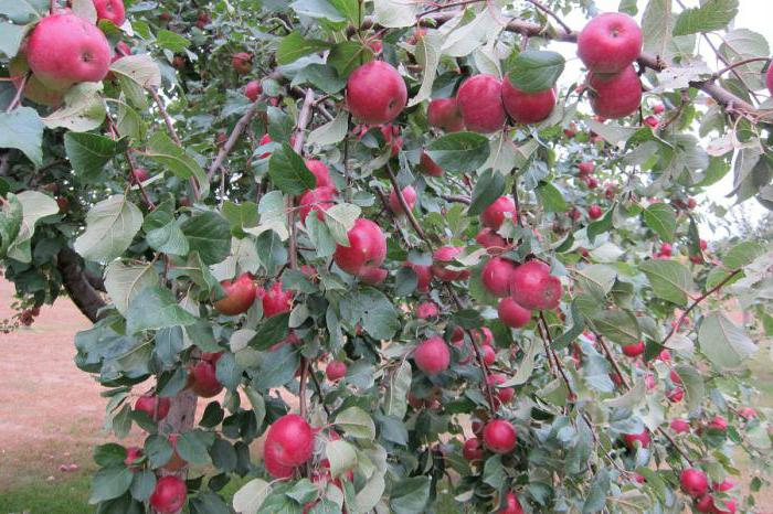 Яблуня срібне копитце опис фото відгуки