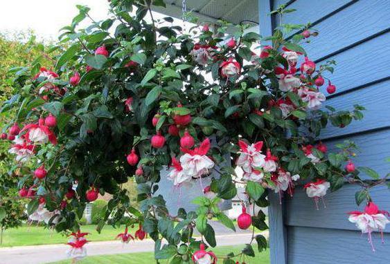 Фуксия выращивание и уход