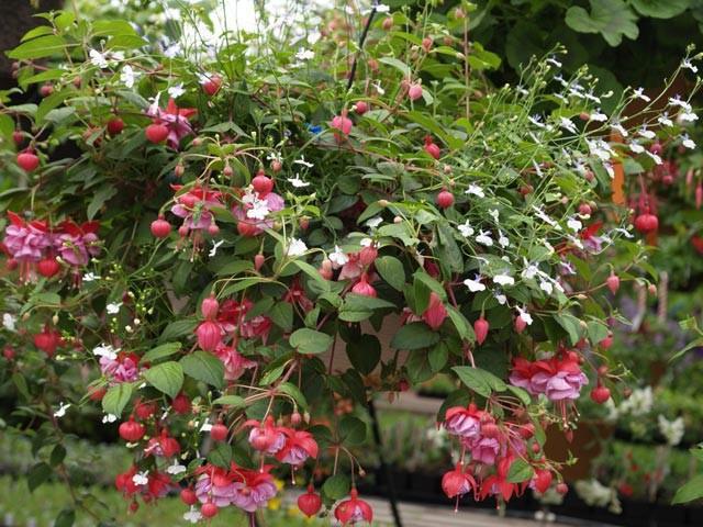Цветы фуксия посадка и уход