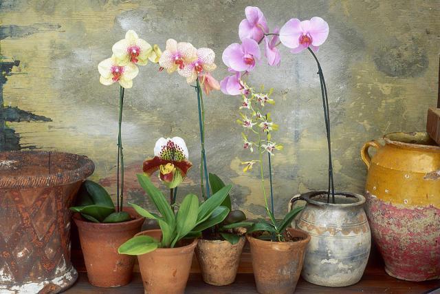орхидея фаленопсис можно ли держать дома
