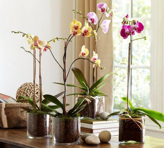 можно ли держать орхидею дома народные приметы
