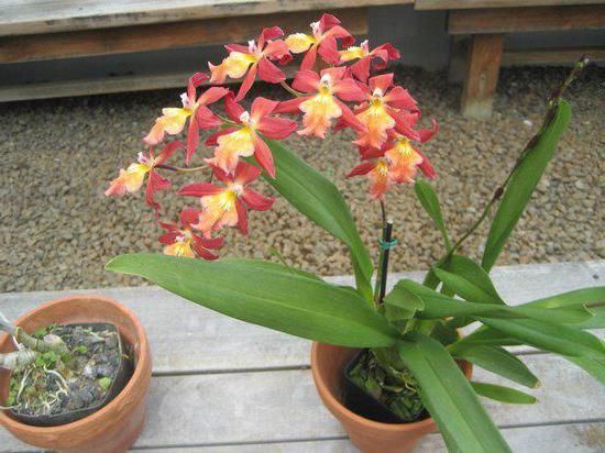 можно ли держать дома орхидеи приметы и факты