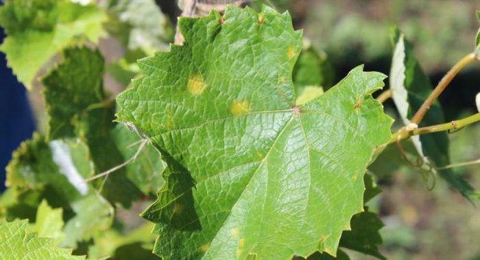 Виноград болезни и борьба с ними