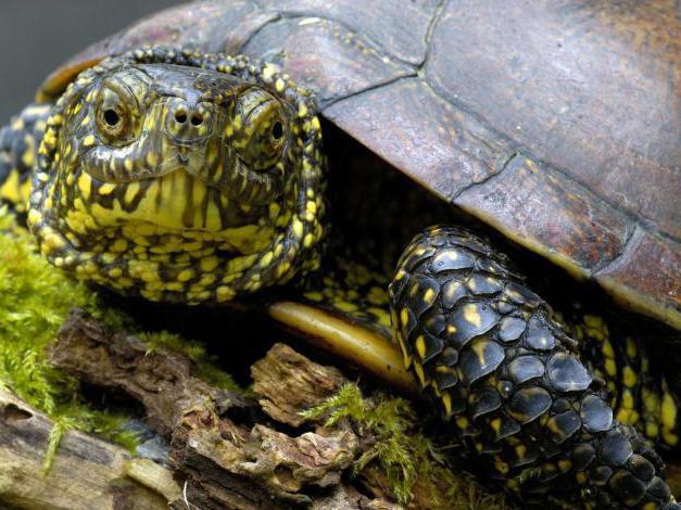 Чем кормить болотную черепаху
