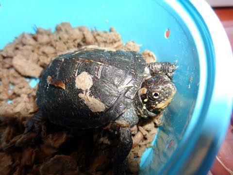 Европейская болотная черепаха чем кормить