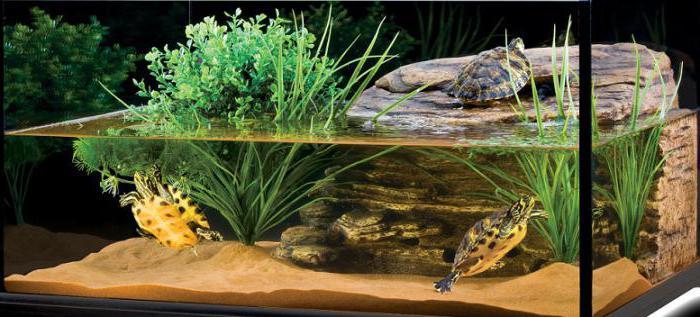 Чем надо кормить болотную черепаху