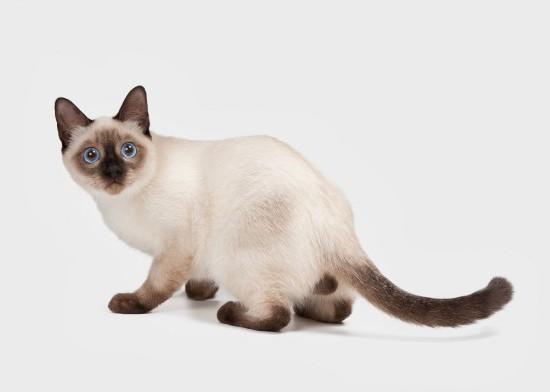Метис тайской кошки