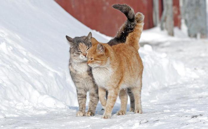 половое созревание у котов
