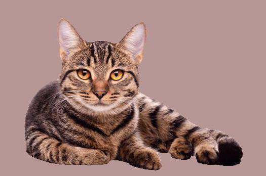 можно ли вылечить асцит кошки