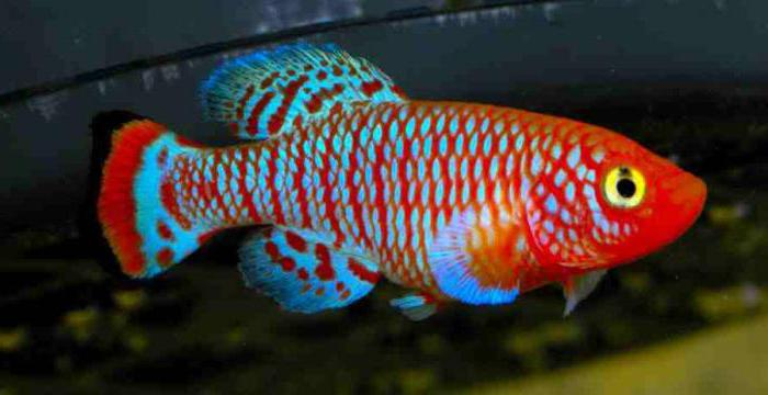 самые красивые пресноводные аквариумные рыбки