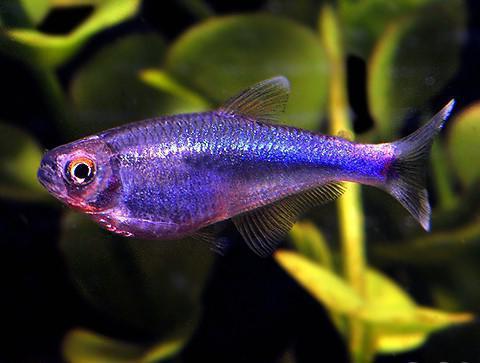 самые красивые аквариумные рыбки фото