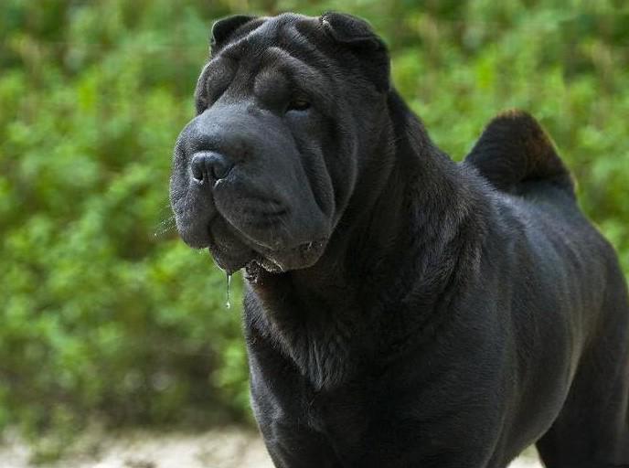Самые спокойные породы собак для кварÑ'иры