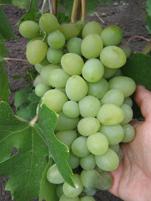 сорт винограда благовест фото заречном