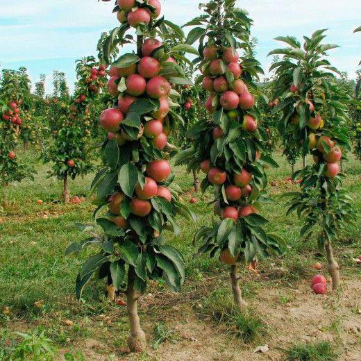 Колоновидная яблоня Арбат: фото и описание сорта