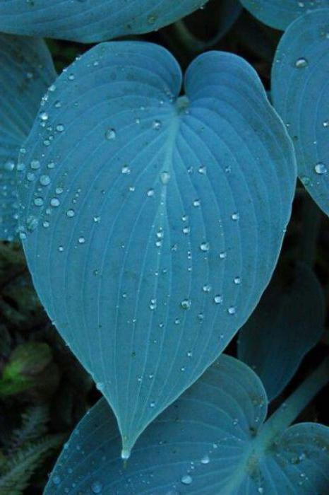 хоста растение фото