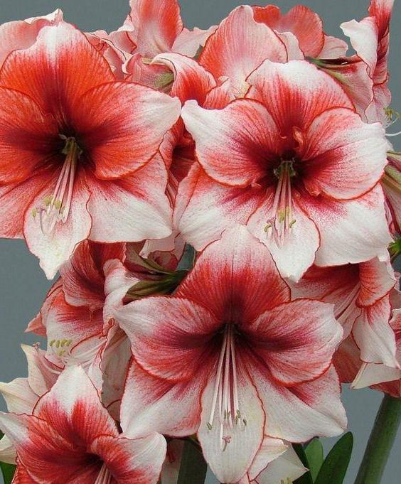 цветы семейства амариллисовых фото с названиями