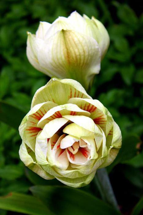амаралисовые цветы пересадка