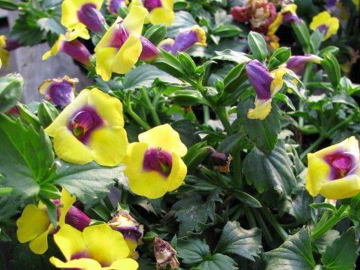 Торения цветы выращивание и уход 62