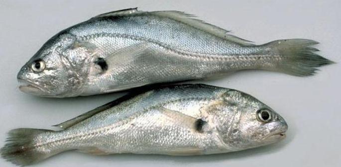 боковая линия у рыбы