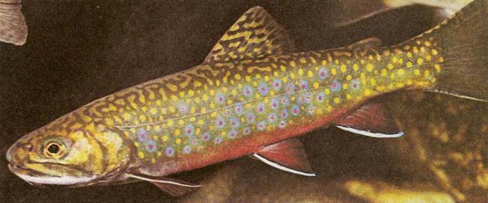 значение боковой линии у рыб