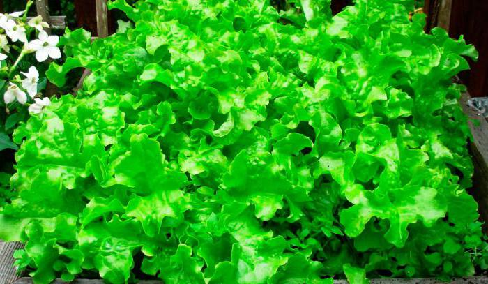 листья салата польза и вред для здоровья
