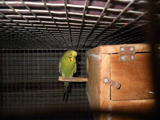сделать домик для волнистых попугаев