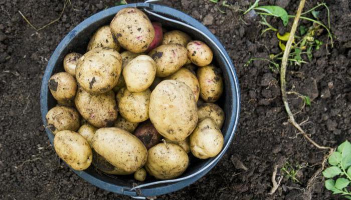 в 12 литровом ведре сколько кг картошки