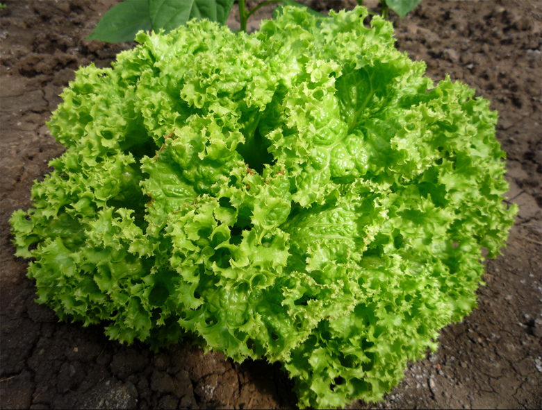 lollo bionda salad growing
