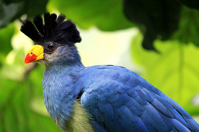 бананоед птица