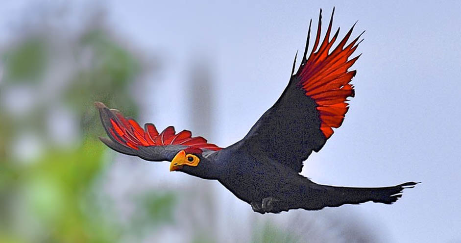 птица бананоед в африке