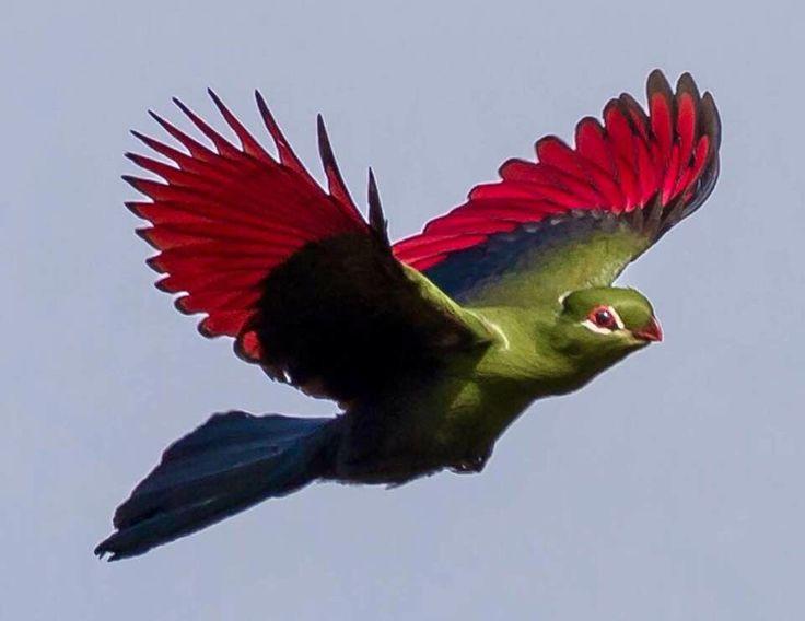 птица из семейства бананоедов