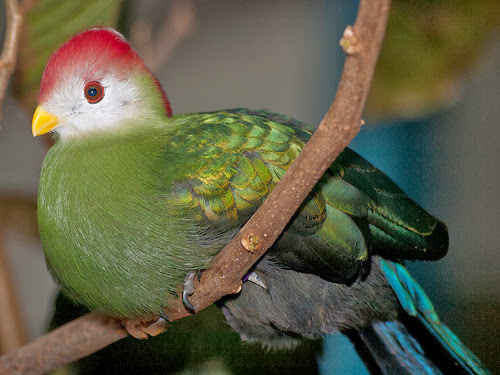 бананоед птица среда обитания