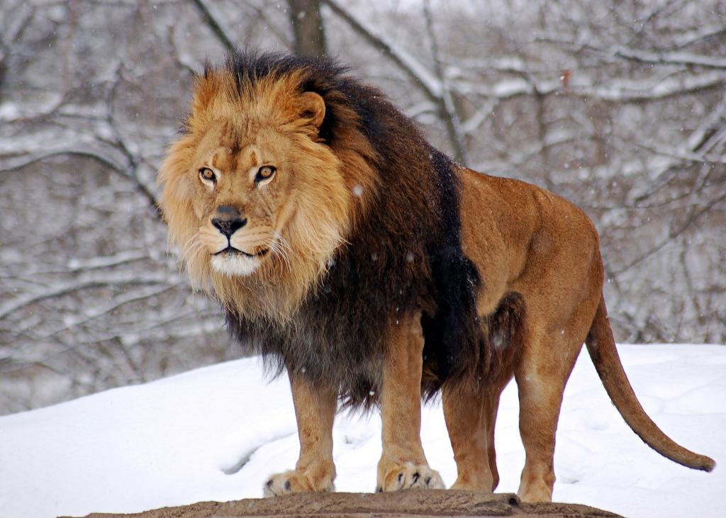 самые большие львы в мире