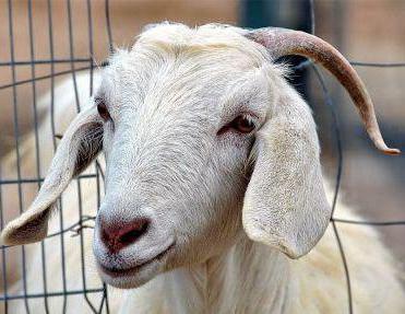 бруцеллез скота