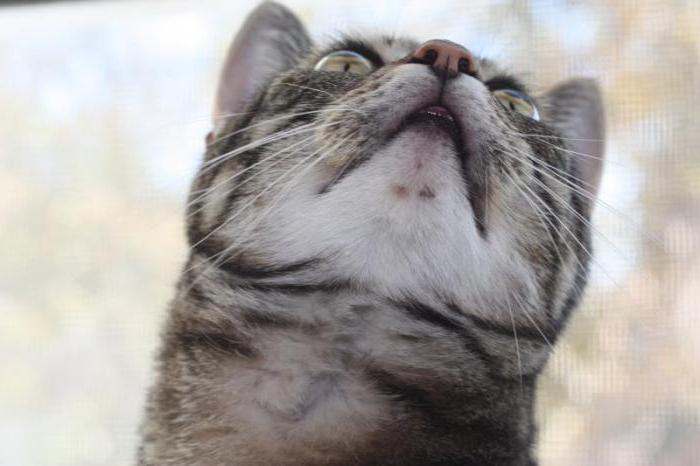 опухла нижняя губа у кошки что делать