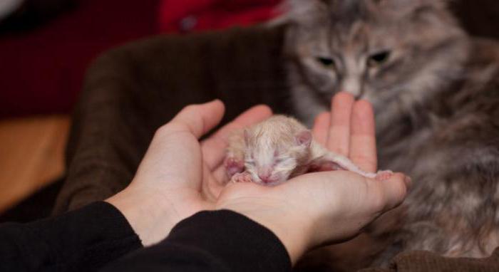 Эклампсия у кошек после родов