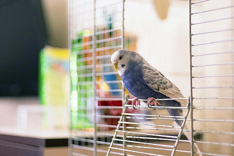 усиленном фотки попугаев в клетке рецептов