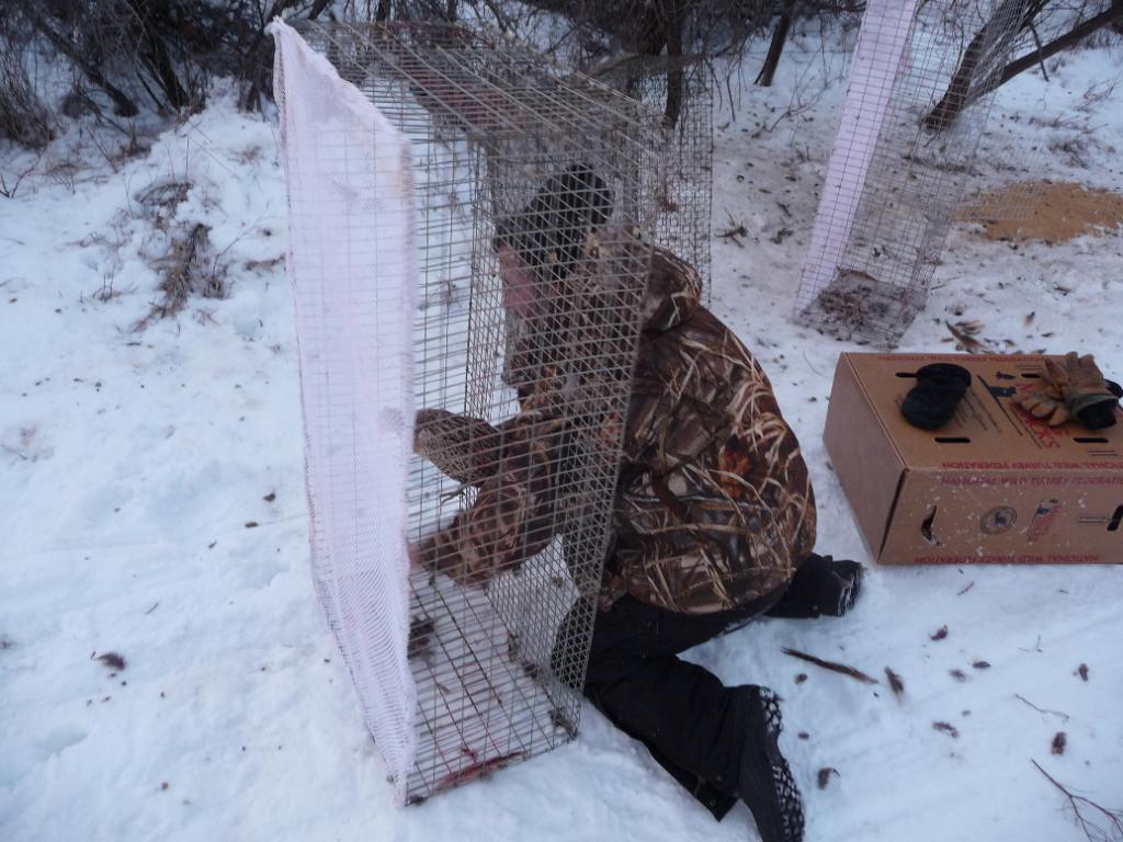 Ловушки на фазана фото