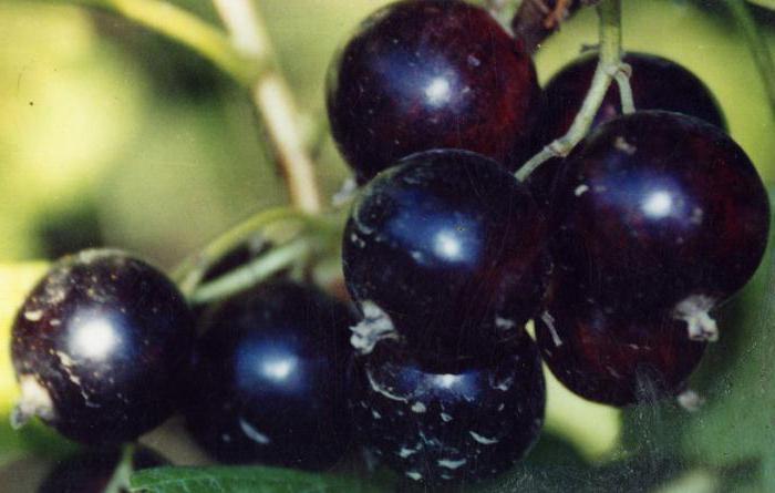 Смородина черная Вологда: описание сорта, уход, урожайность и отзывы
