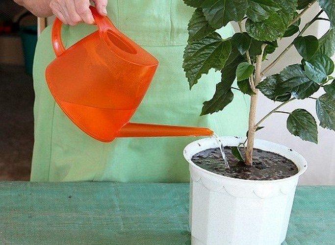 Как посадить гибискус в домашних условиях 766
