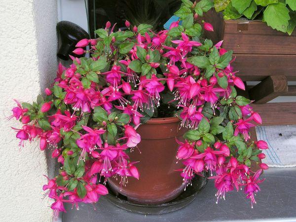 Комнатный цветок его выращивание 315