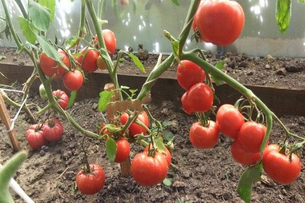 томат супербомба фото