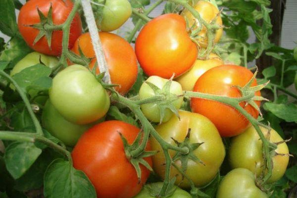 томат супербомба отзывы