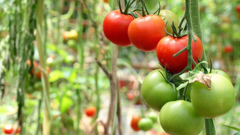томат сорт супербомба